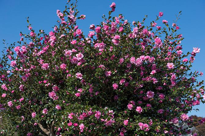 ピンクの花を咲かせるサザンカの木