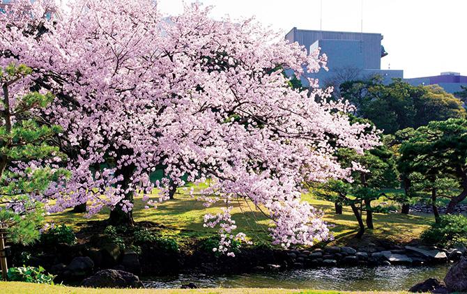 浜離宮恩賜公園の桜