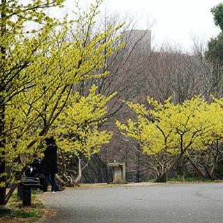 マンサク 埼玉県営和光樹林公園