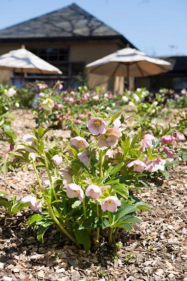 ドリプレ・ローズガーデンに咲く淡ピンクのクリスマスローズ