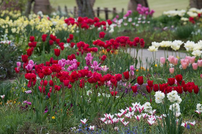 アンディ&ウィリアムス ボタニックガーデンに咲く赤やピンクのチューリップ