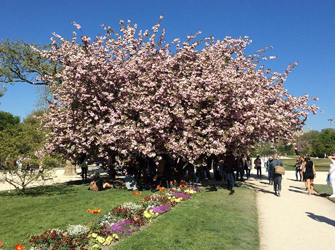 パリ植物園の桜