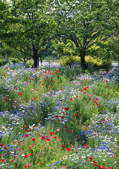 花菜ガーデンで咲くワイルドフラワー