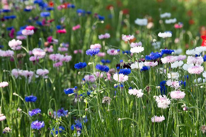花菜ガーデンで咲くヤグルマギク
