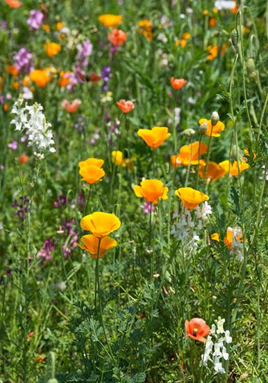オレンジ色のカリフォルニアポピー