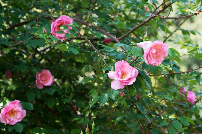 ダイナミックに咲くバラのリージャンロードクライマー