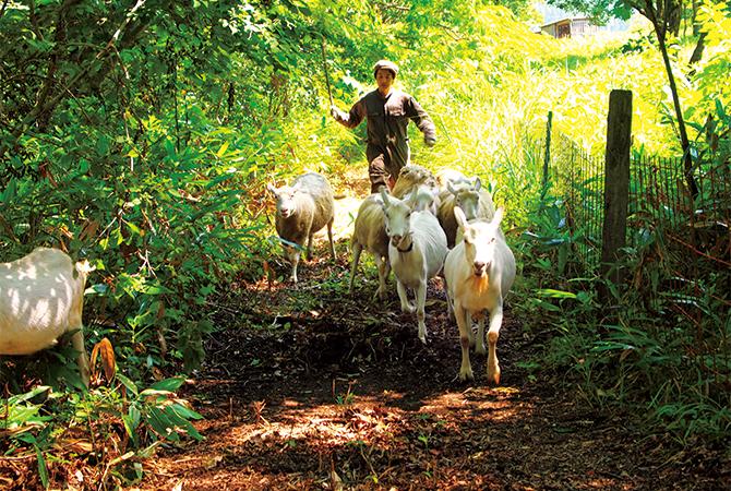 山羊や羊を誘導する竹内雄一郎さん