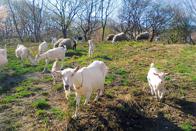 山羊や羊を飼い、その乳でリコッタを作る暮らし