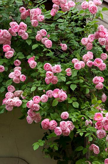 ローブリッターというピンクのバラ