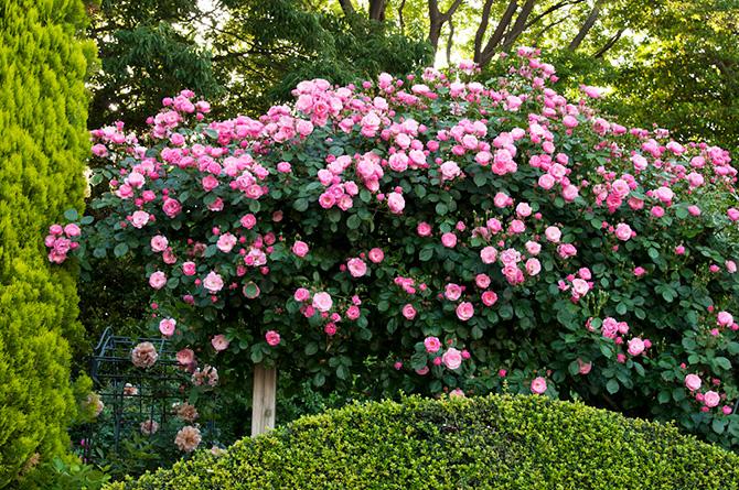 ローズガーデンのパーゴラに絡ませたつるバラのアンジェ