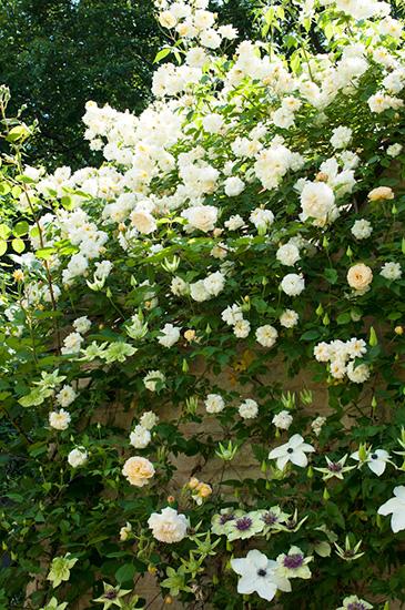 壁を覆いつくすバラとクレマチス