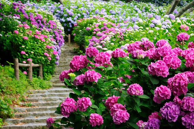静岡県下田公園の階段に咲くアジサイ