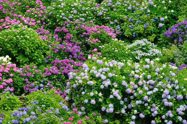 静岡県下田公園で一面に咲くアジサイ