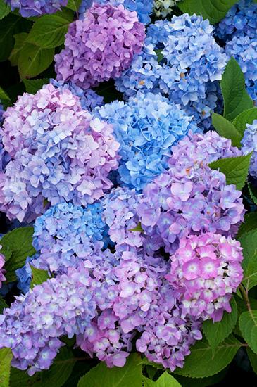 静岡県下田公園に咲くアジサイ