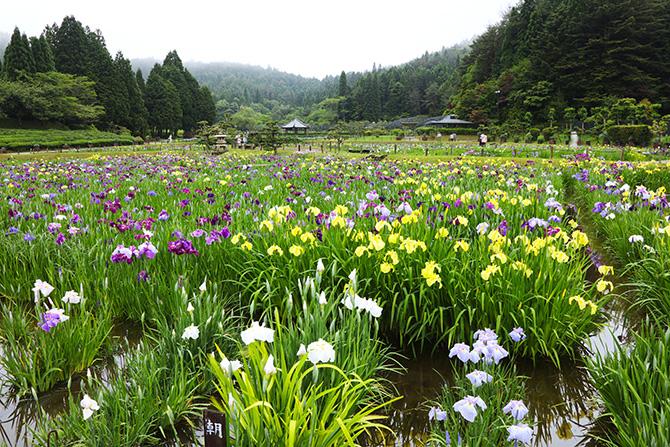 里山の水田に咲くハナショウブ