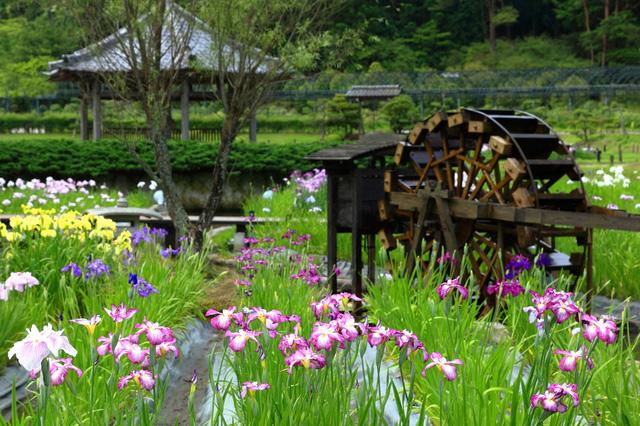 水田に咲くハナショウブと水車