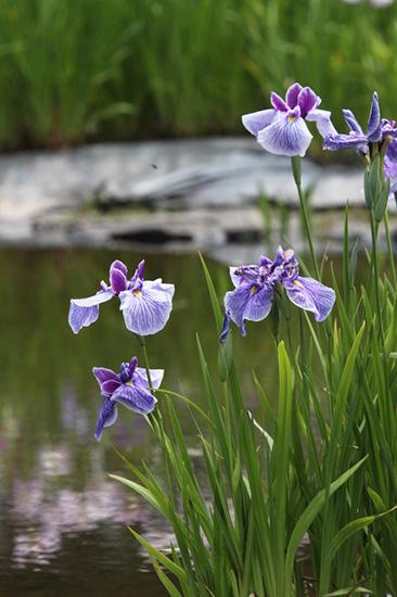 紫のハナショウブ