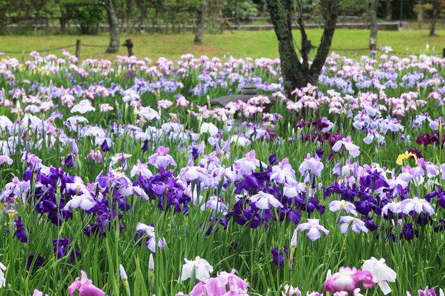 紫や青紫やピンクのハナショウブ
