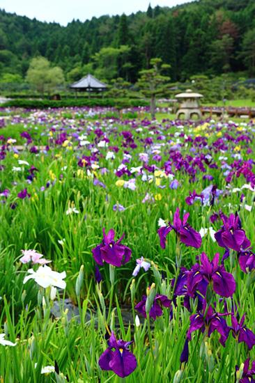 水田に咲くハナショウブの先に東屋や灯籠が見える風景