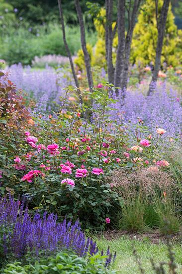 十勝ヒルズのローズガーデン。紫のサルビア・ネモローサ、薄紫のネペタ。ピンクのバラ