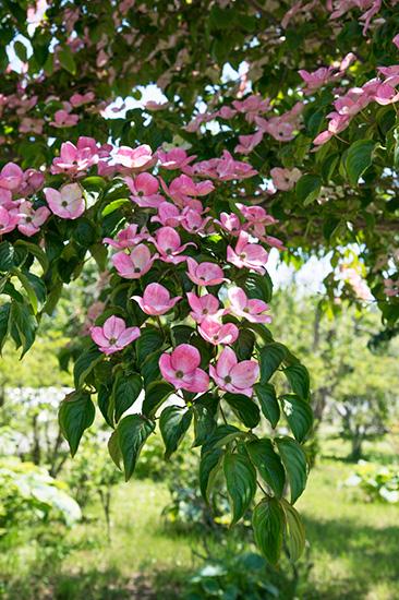 ピンクのサトミの花