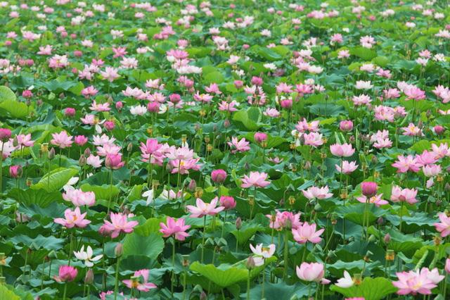 伊豆沼、内沼のハスの花