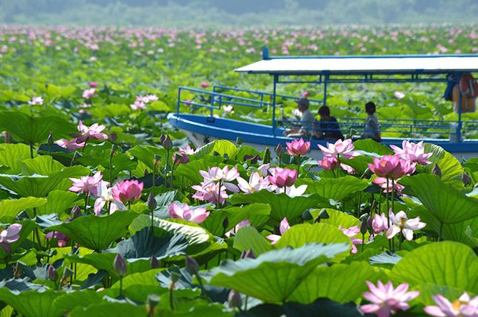 伊豆沼、内沼のハスの花と船