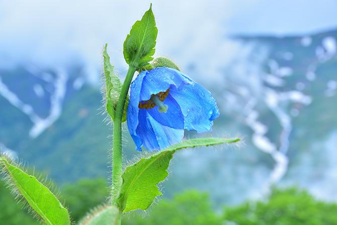 白馬五竜高山植物園に咲くヒマラヤの青いケシ
