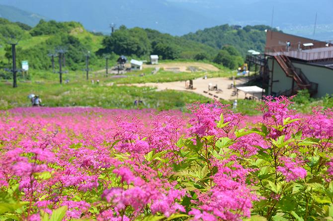 ピンクのシモツケソウの花