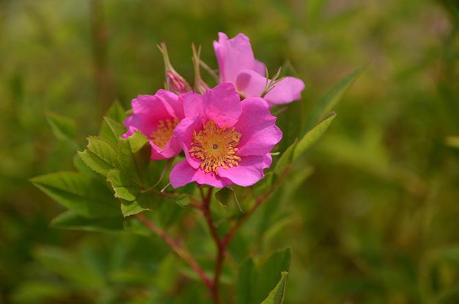 ピンクのタカネバラ