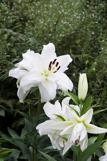 アンディ&ウィリアムス ボタニックガーデンに咲く白いダブルカサブランカ