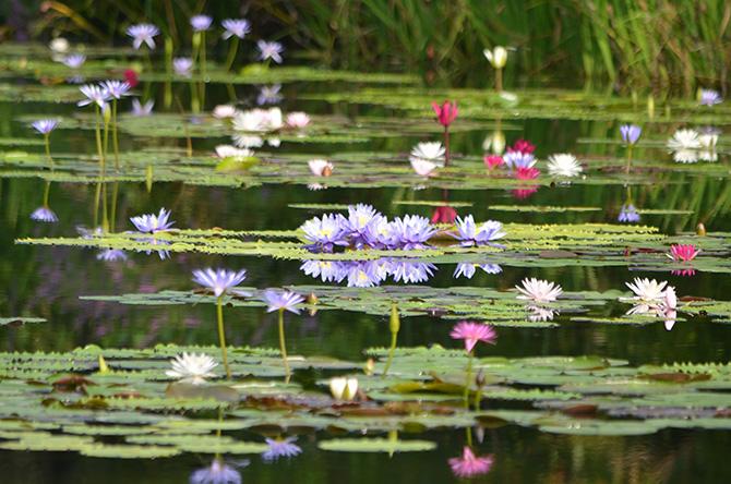 池に咲く青やピンクのスイレン