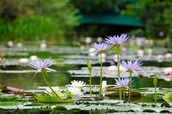 北川村モネの庭マルモッタンで池に咲く青いスイレン