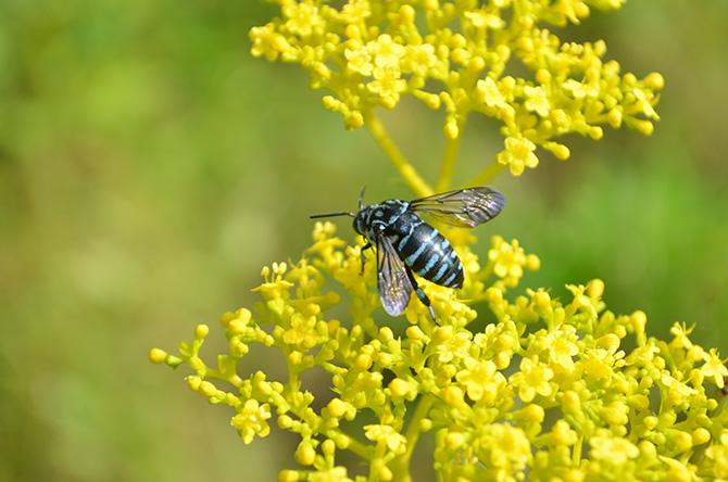 花にとまる青いハチ、ブルービー