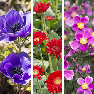 大人検定365 「ジャパニーズ・アネモネ」と呼ばれる花はどれ?今日から使える話のタネ