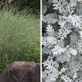 大人検定365 「ジャパニーズシルバーグラス」という名で、欧米で大人気の植物はどっち?