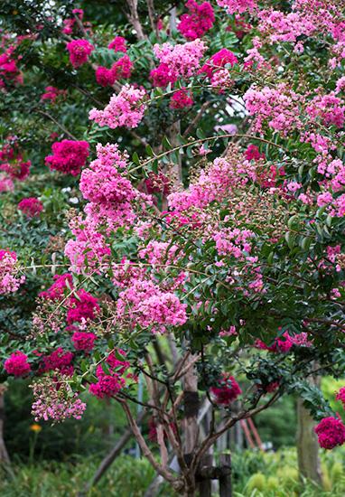 平塚・花菜ガーデンに咲くピンクのサルスベリ