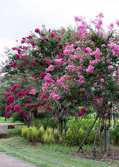 平塚・花菜ガーデンに咲くピンクと赤紫のサルスベリ