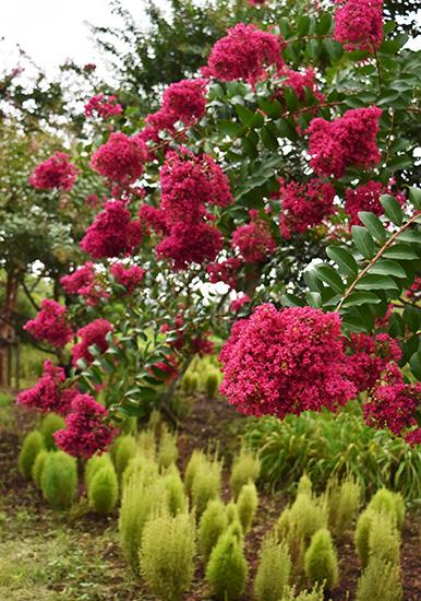 平塚・花菜ガーデンに咲くピンクのサルスベリのアップ
