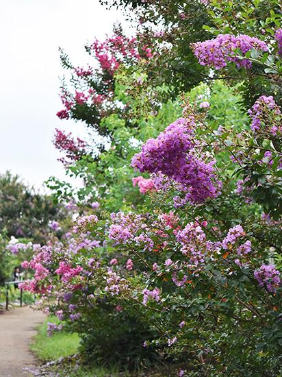 平塚・花菜ガーデンに咲く紫のサルスベリのアップ