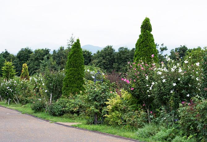 夏にふんわり大きな花を咲かせるムクゲ