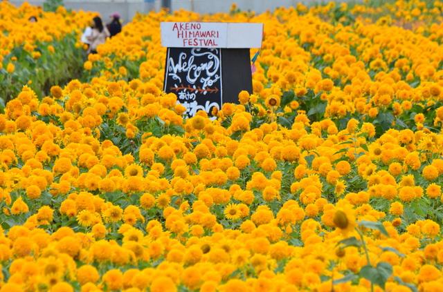 「あけの ひまわりフェスティバル」ひまわり畑