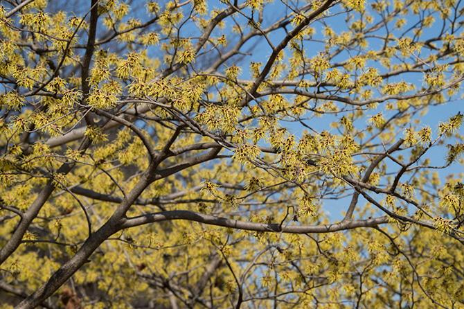 大人検定365 早春の庭で真っ先に咲くこの花木の名前は何でしょう