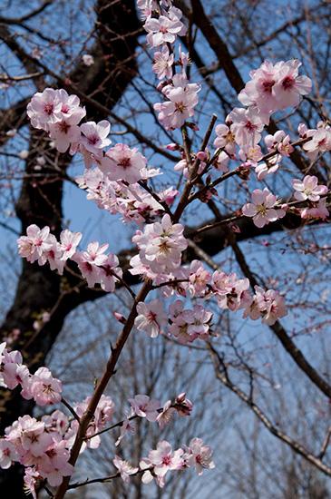 大人検定365 サクラによく似たこの花木の名は? ヒントはおいしいナッツが採れる木