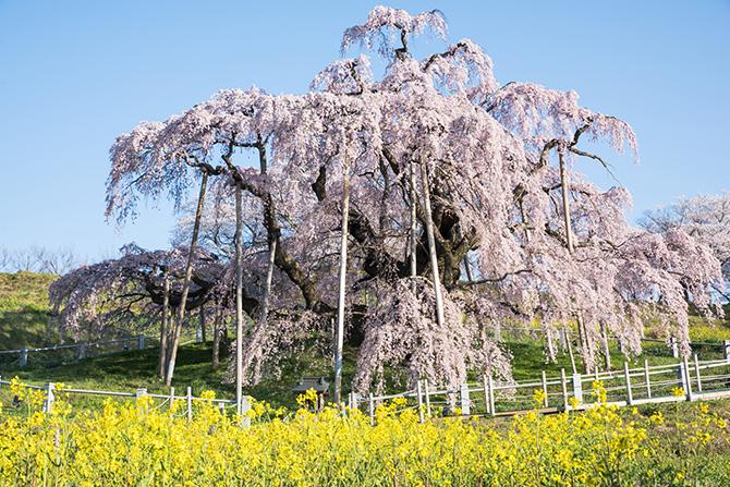 大人検定365人生で一度は見ておきたい日本三大桜、すべてご存じですか?