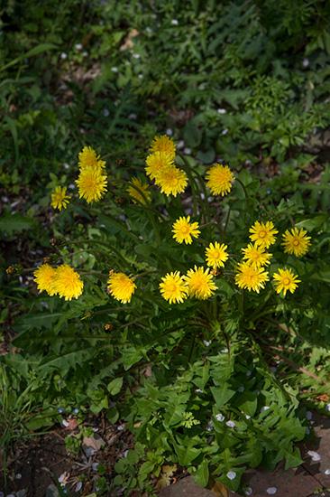 大人検定365 タンポポの花弁は何枚でしょう?今日から使える話のタネ