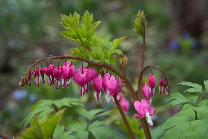 大人検定365 かわいいハート型が連なるこの花の名前は?今日から使える話のタネ