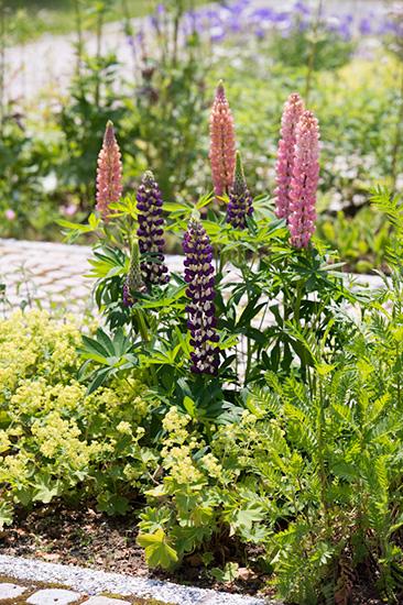 大人検定365 ノボリフジという縁起のよい和名をもつこの花は何という名前でしょう?