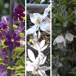 大人検定365 つる性植物の女王「クレマチス」は、春夏秋冬どの時期の花?