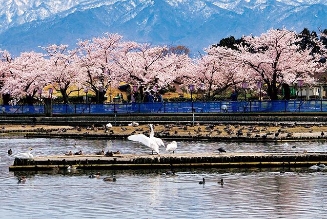 白鳥の飛来で有名な瓢湖